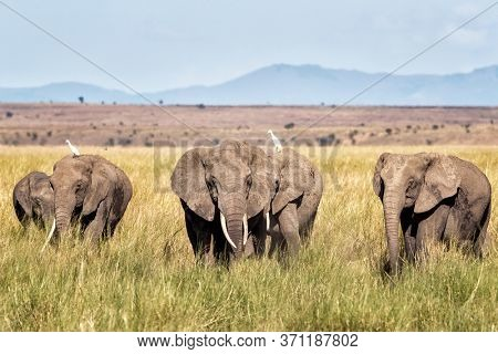 A herd of elephants walk through the lush grass of Amboseli National Park, Kenya, with the foothills of Mount Kilimanjaro behind.
