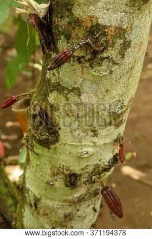 Ripe Cacao Fruit. Brown Cocoa Pods Grow On The Tree. The Cocoa Tree Theobroma Cacao With Fruits. Clo