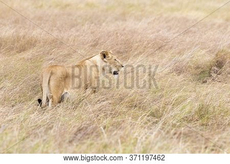 Young adult lioness camoflagied in the long, dry grass of the Masai Mara, Kenya. This watchful female is hunting.