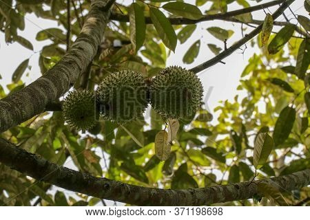 Ripened Durian On Tree. Bunch Of Fresh Durian Ripening On Durian Tree Branch In A Sunny Garden. The