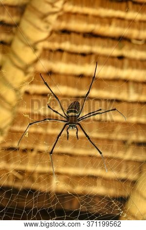 Front View Of Nephila Pilipes Or Golden Orb-web Spider. Giant Banana Spider Is Waiting For His Prey