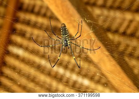 Bottom View Of Nephila Pilipes Or Golden Orb-web Spider. Giant Banana Spider Is Waiting For Prey On