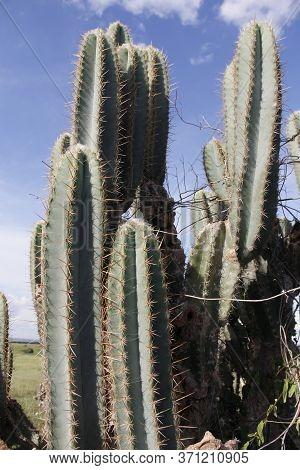 Ibotirama, Bahia / Brazil - May 29, 2014: Cactus Plant In Rural Ibotirama, Bahia Semi-arid. The Plan