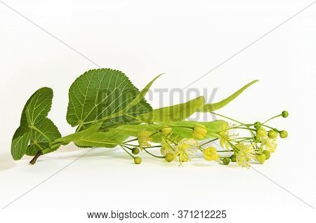 Fresh Flowers And Leaves Of Linden Or Lime-tree Isolated On White Background.