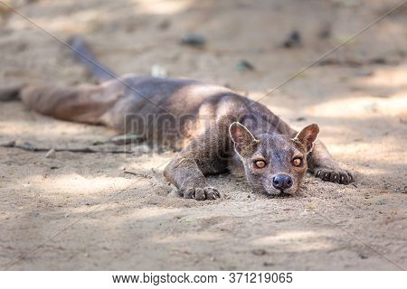 Endemic Madagascar Fossa On The Ground. High Quality Photo