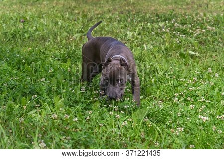 Beautiful Puppy American Staffordshire Terrier In The Meadow