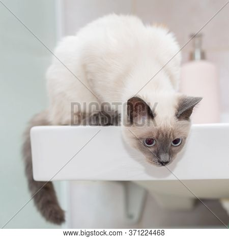 Thai Cat On The Edge Of The Sink In The Bathroom.