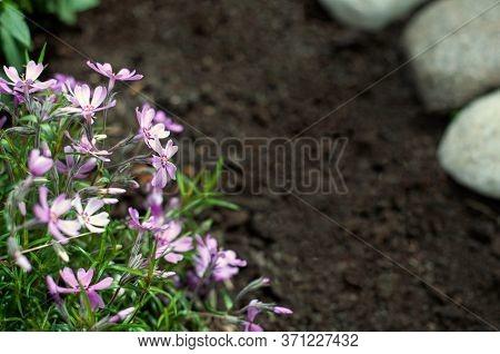 Phlox Subulata Creeping Phlox, Moss Phlox, Moss Pink, Or Mountain Phlox Flowers Background. Small Pi