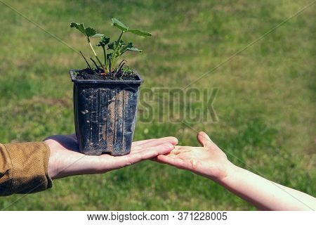 Farmer Holding A Seedling Of Strawberry And Transmit It To The Child. Concept Of Growth And Developm