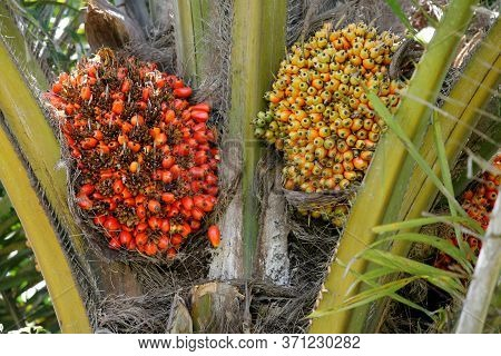 Nazare, Bahia / Brazil - March 18, 2011: Oil Palm Plantation For Oil Extraction In The City Of Nazar