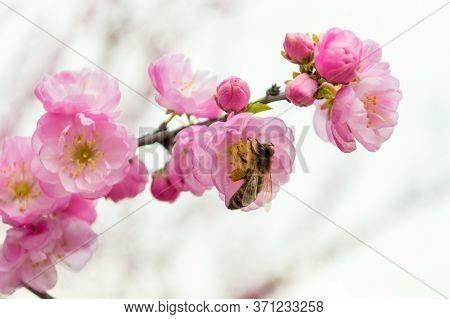 Bee On Sakura Blossom Pollinating Flowers Close-up. Branch Of Pink Skura Flowers On Light Baground W