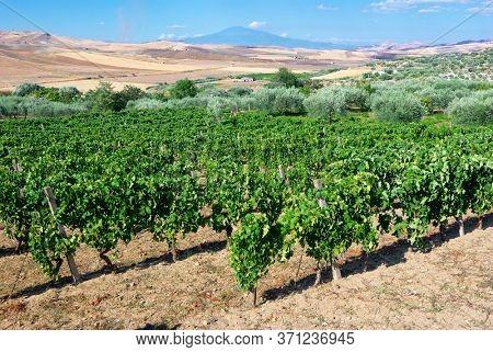 landscape vineyard in Sicily summer countryside, on background Etna Mount