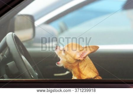 Angry Dog In A Car In A Traffic Jam, Concept. Chihuahua Driving A Car