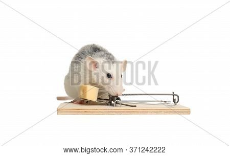 Rat And Mousetrap With Cheese On White Background. Pest Control