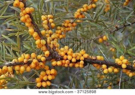 Yellow Berries Of Sea Buckthorn.