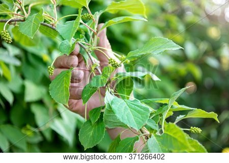 Chinese Magnolia Vine, Schisandra Chinensis. Hand Holding A Branch Of Green Lemongrass Berries. The