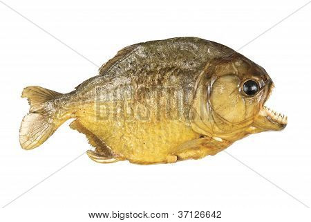 Red Belly Piranha isolated on white background.
