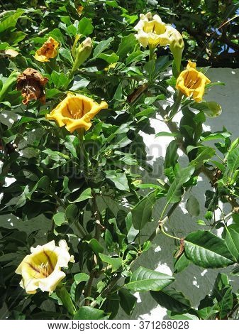 Large Display Of Cup Of Gold Vine Or Golden Chalice Vine (solandra Maxima) In Andalusian Village