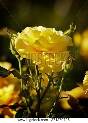 Beautiful Yellow Roses, With A Fragrant Smell, Have Green Leaves And Sharp Spikes On The Stems, Lit