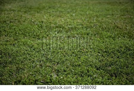 Green Grass In A Field, Detail Of Fresh Grass, Nature