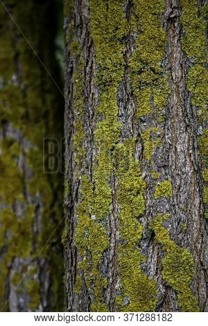 Tree Bark With Moss, Detail Of Nature In The Forest