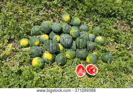 Group Of Ripe Watermelons In A Field.