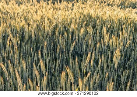Barley Field In Sunlight With Shallow Dof