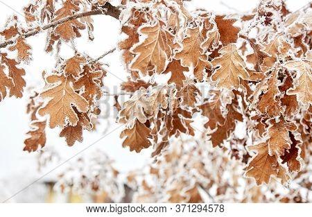 Rime On Dry Oak Leaves. Severe Frost