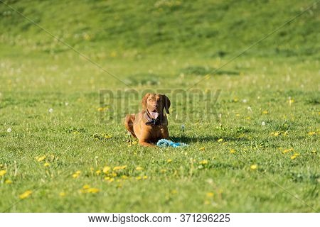 The Bitch Is Lying On The Green Grass Ready To Run And Perform The Next Command During Training.