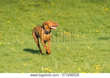 Big Light Brown Bitch. Purebred Breeding Dog. Runs Over The Green Link On A Spring Sunny Afternoon.