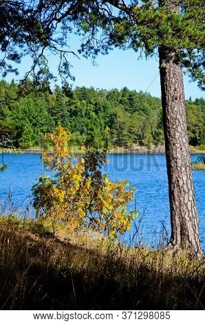 Yellow Rowan Bush Under A Green Pine On The Background Of Clear Blue Water Of The Lake. Blue, Clear