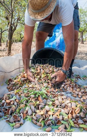 Pickers At Work While Fulling Pails With Just Picked Almonds, Noto, Sicily