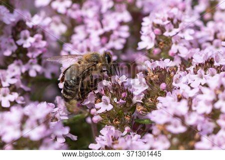 European Honey Bee (apis Mellifera) On Thyme