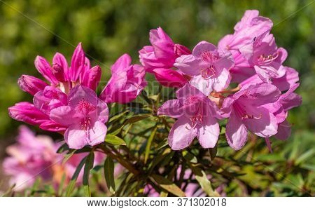 Close Up Image Of Rhododendron Ponticum Filigran (rhododendron Ponticum)