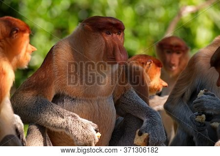 Malaysia. The Long-nosed Monkey Or Kahau -- A Species Of Primates From The Subfamily Of Thin-bodied