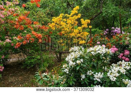 Rhododendron Plants In Bloom With Flowers Of Different Colors. Large Garden Of Colorful Rhododendron