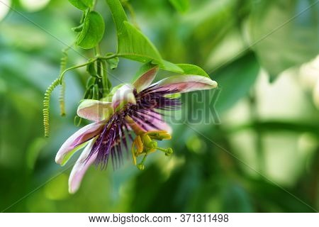 Passiflora Flower Or Passionflower. Scarletfruit, Pink Flower