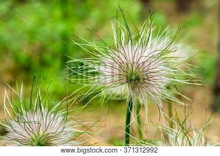 Closeup Of Feathery Seeds Of Spring Flower Pulsatilla Vulgaris (dream Of Grass).