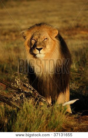 African Lion in Namibia