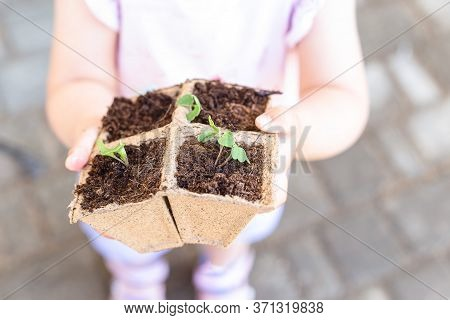 Arugula Plants And Kids Hands Outdoors. Agriculture And Healthy.