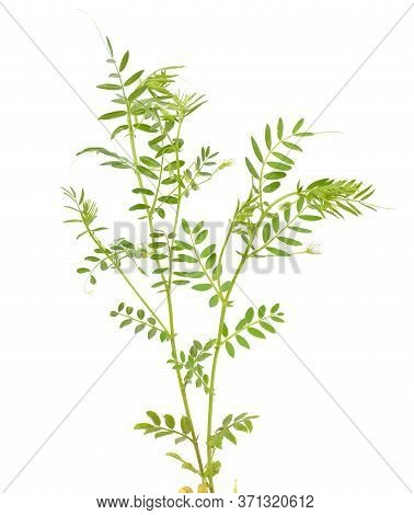 Lentil Plant Or Lens Culinaris Or Lens Esculenta. With Flowers Isolated.