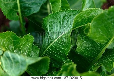 Green Horseradish Armoracia Rusticana Plant With Big Leaves In Summer Kitchen Garden
