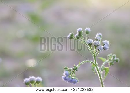 Little Ironweed, Ash Coloured Fleabane, Ash Coloured Ironweed Or Purple Flowered Fleabane Bloom On N