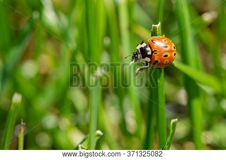 A Little Ladybug On A Green Blade Of Grass Wants To Fly Away Closeup