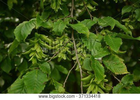 Hornbeam, European Hornbeam, Common Hornbeam, Fruit, Seeds,