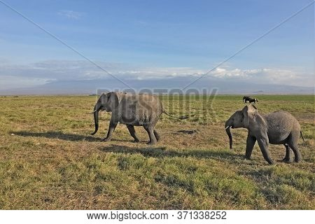 A Baby Elephant Runs Along The Savannah For Mom Elephant. The Grass Of Amboseli Park Turned Yellow,