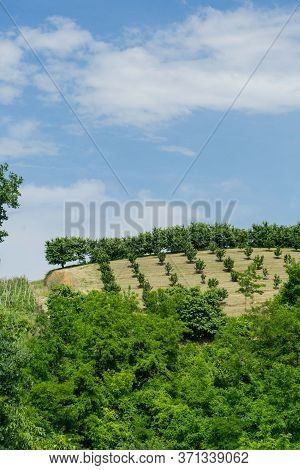 Hill Near Monticello D'alba With Hazelnut Field In Roero, Piedmont - Italy