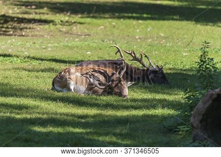 Dama Dama - Fallow Deer Lies On The Grass In A Game Park.