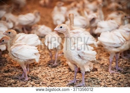 Farm Small Turkeys With A Pickled Beak And Clipped Wings At The Poultry Farm