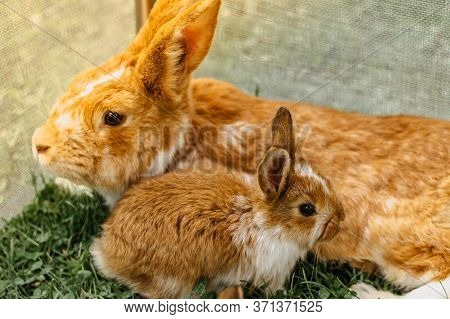 A Group Of Domestic Rabbits Sitting In The Garden.little Rabbits With Mum Eating Grass.newborn Anima